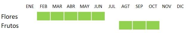 Calendario de floración y fructuficación Phillyrea angustifolia