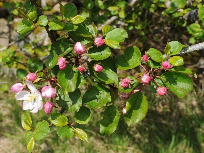 Floración de Malus sylvestris