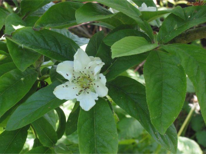 Mespilus germamica flor