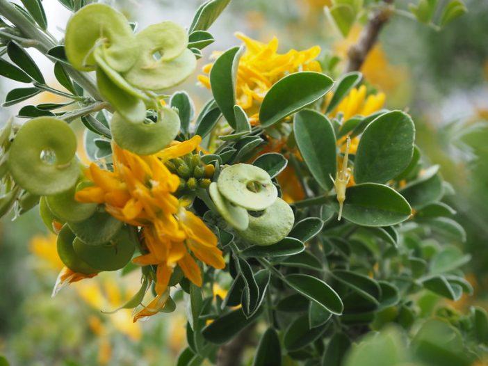 Medicago arborea fruto