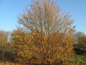 Acer campestre en otoño