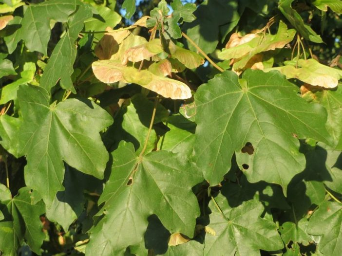 Acer camprestre hojas y fruto
