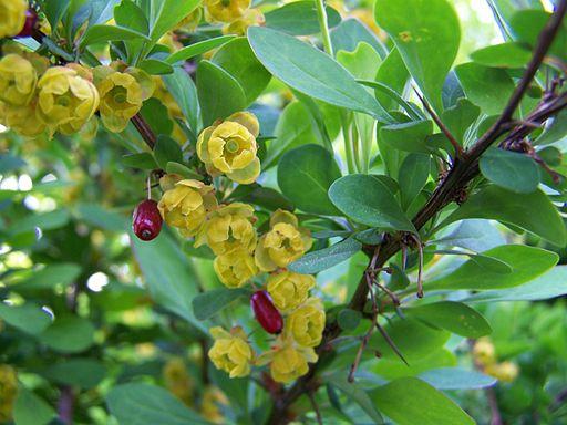 Floración y espinas de Berberis vulgaris