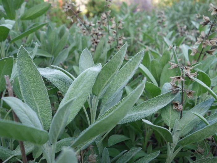 Salvia officinalis L. hojas