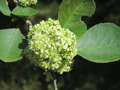 Floración de Maytenus senegalensis