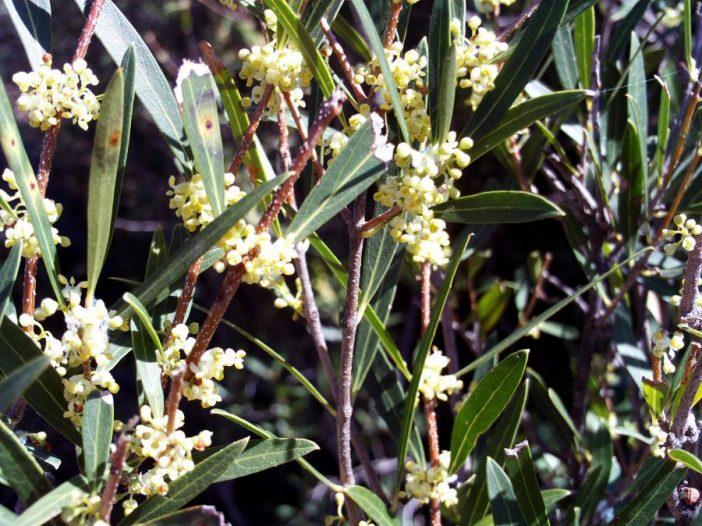 Phillyrea angustifolia flor