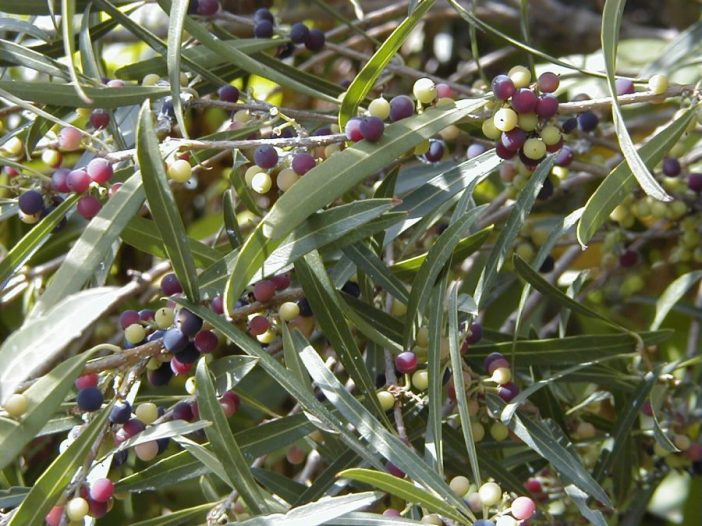 Phillyrea angustifolia fruto