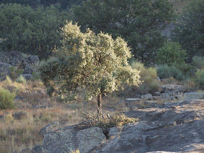 Porte Quercus ilex subsp. ballota (Desf.) Samp.
