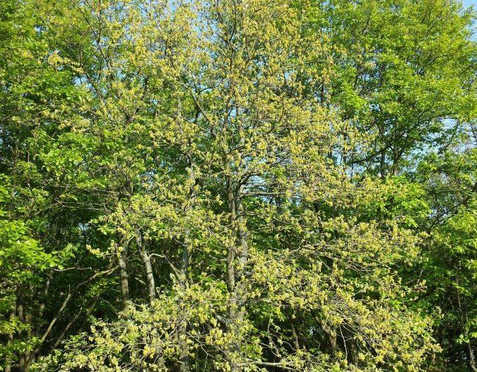 Porte Quercus pubescens Willd