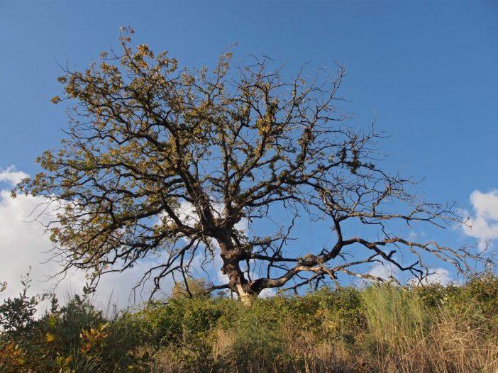 Porte Quercus pyrenaica Willd.