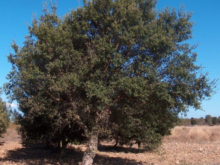 Porte Quercus suber L.