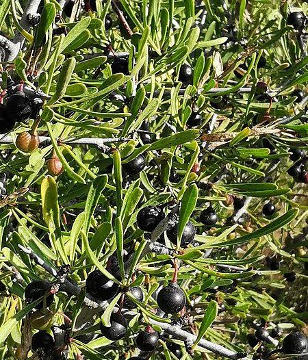 Fructificación Rhamnus lycioides L.