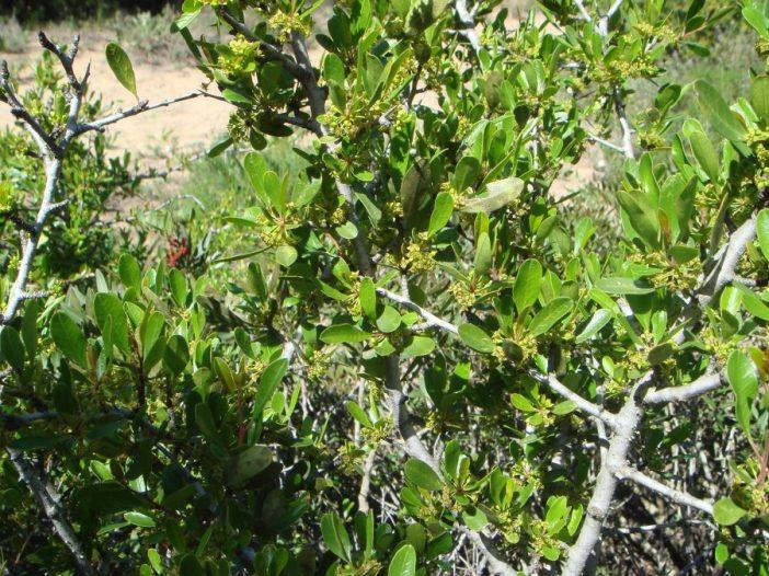 Hojas Rhamnus oleoides