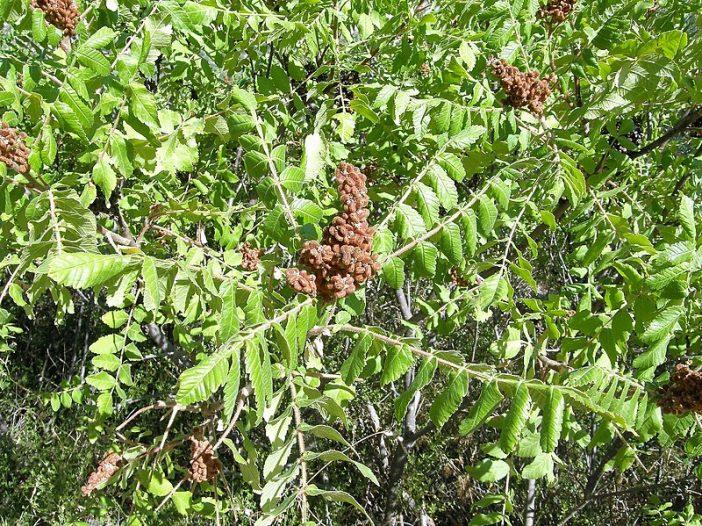 Fructificación Rhus coriaria L.