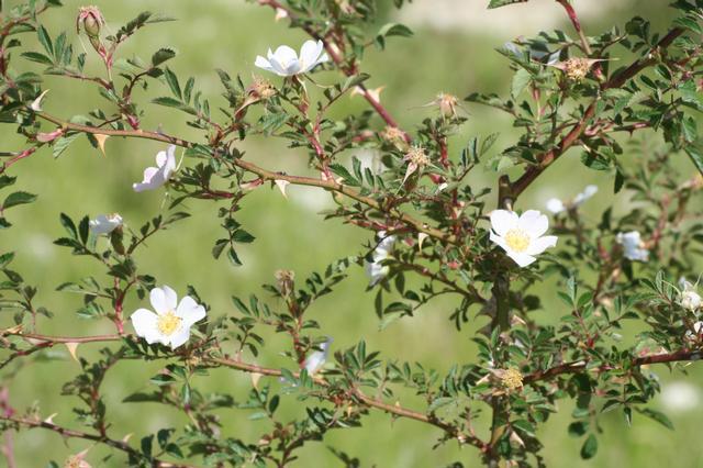 Floración Rosa agrestis Savi