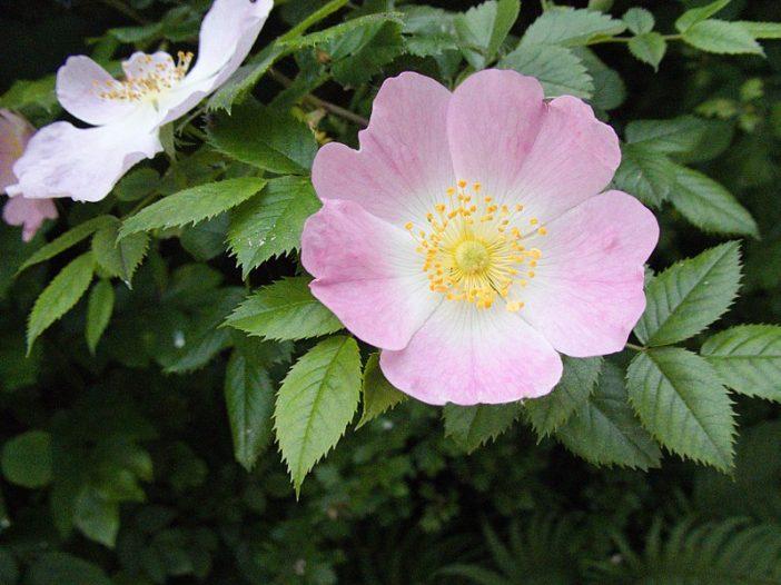 Floración Rosa canina L.