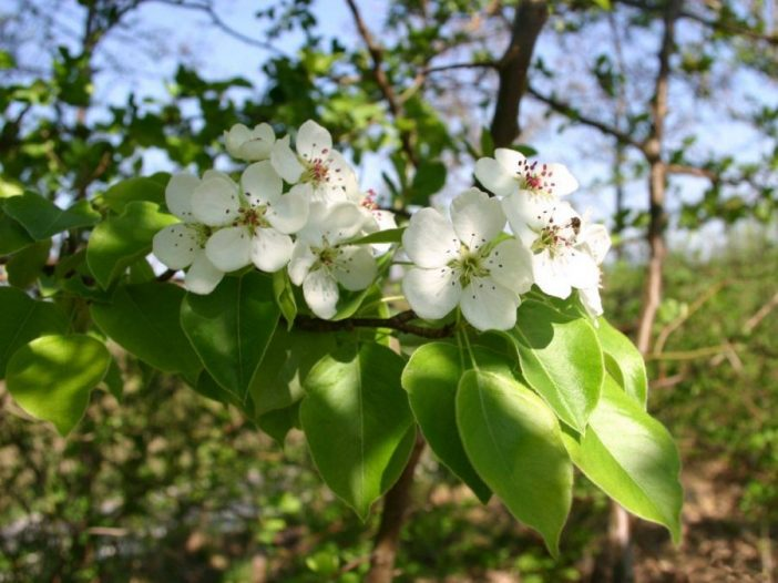 Floración Pyrus communis L.