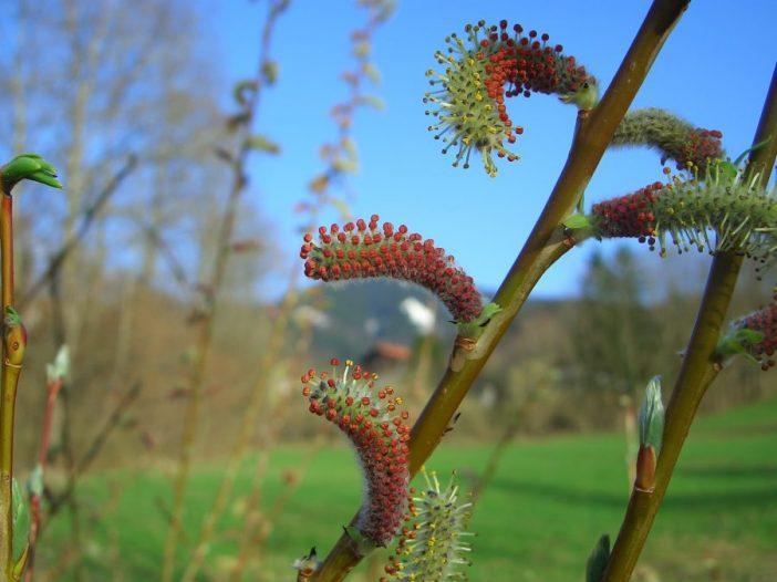 Inflorescencia Salix purpurea L.
