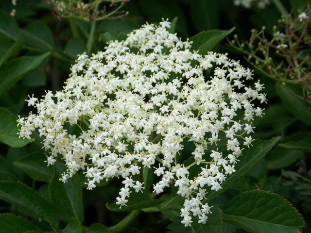 Floración Sambucus nigra L.