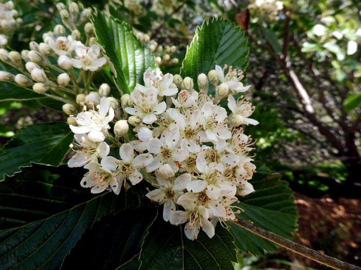 Floración Sorbus aria (L.) Crantz.