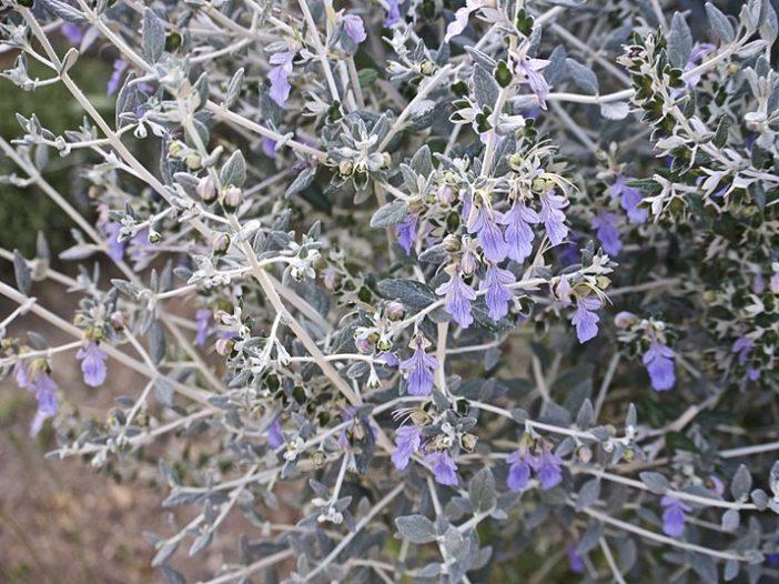 Floración Teucrium polium L.