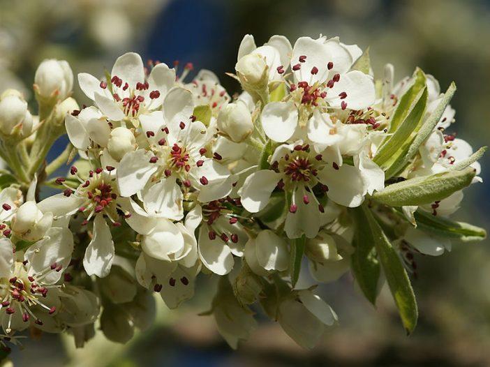 Floración Pyrus spinosa Forssk.