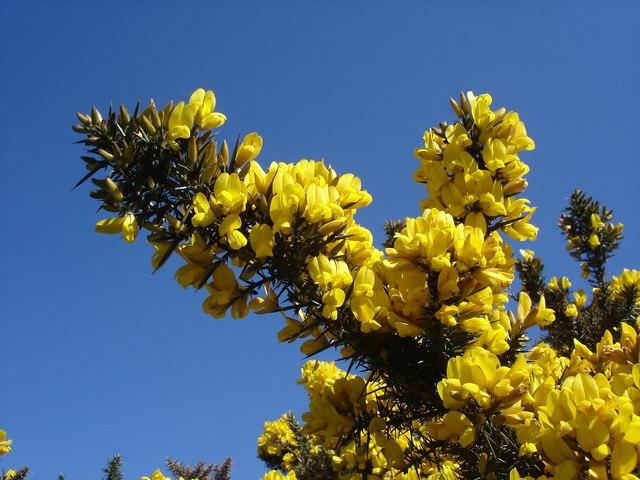 Floración Ulex europaeus L.