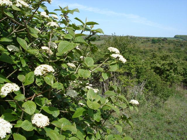 Floración Viburnum lantana L.
