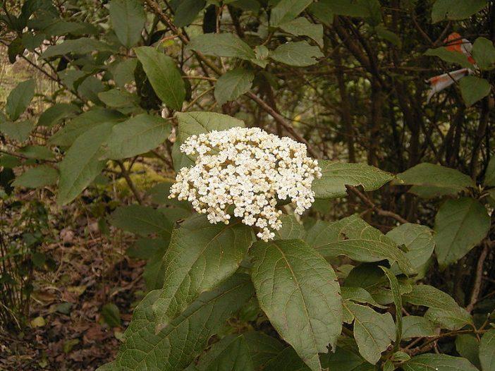 Floración Viburnum rigidum Vent.