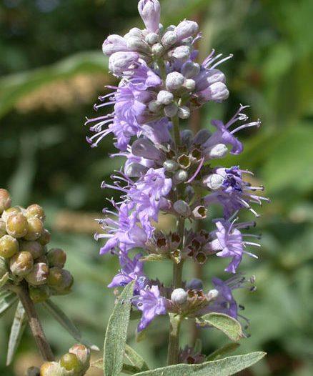 Floración Vitex agnus-castus L.