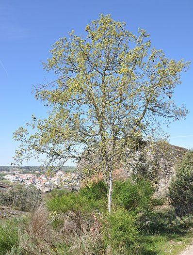 Porte Quercus faginea Lam.