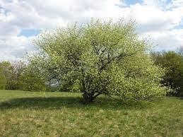 Porte Prunus mahaleb L.