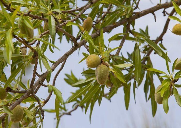 Fructificación Prunus dulcis (Mill.) D.A.Webb