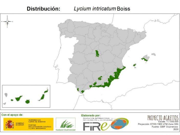 Lycium intricatumBoiss.