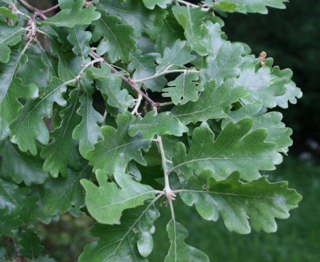 Hojas Quercus pubescens Willd