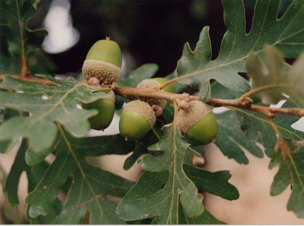 Fructificación Quercus pyrenaica Willd.