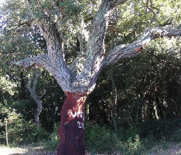 Árbol descorchado Quercus suber L.