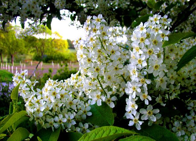 Floración Prunus padus L.