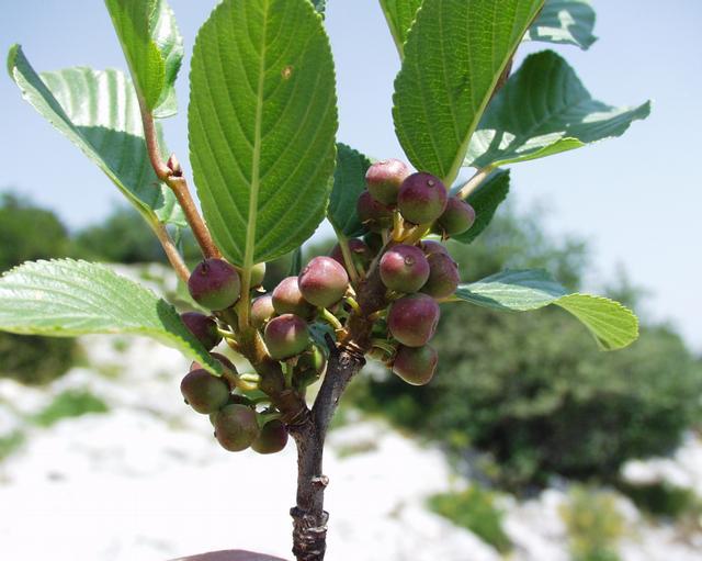 Fructificación Rhamnus alpina L.