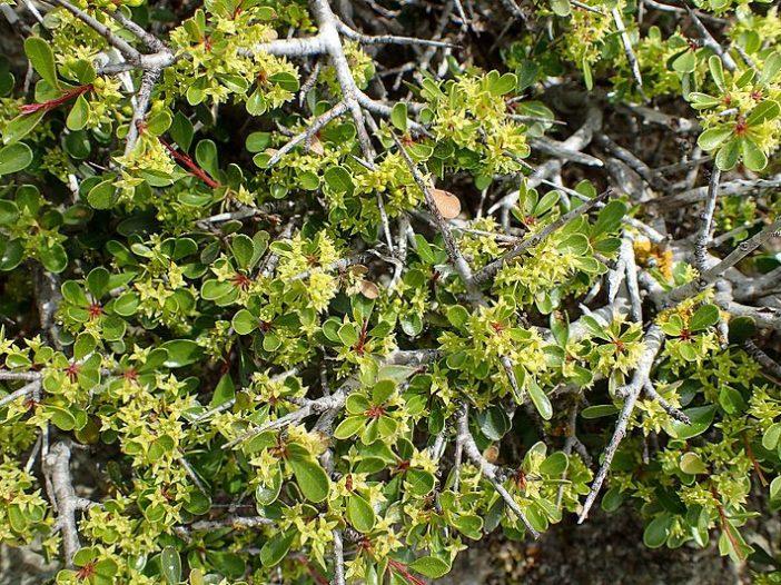 Hojas Rhamnus lycioides L.