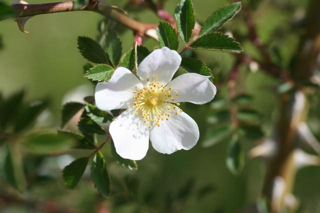Flor Rosa agrestis Savi