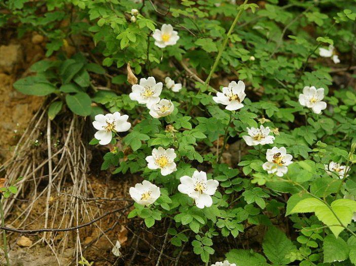 Floración Rosa arvensis Huds.