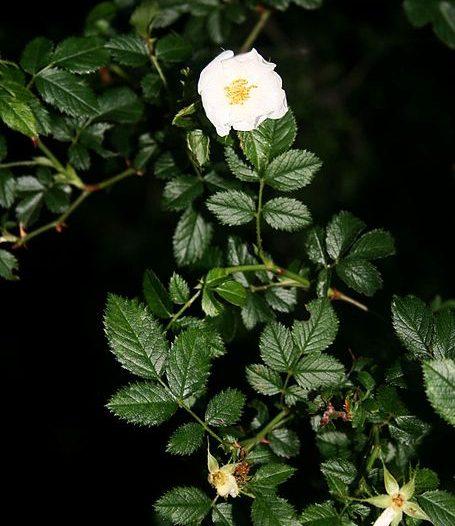 Floración Rosa micrantha Borrer ex Sm.