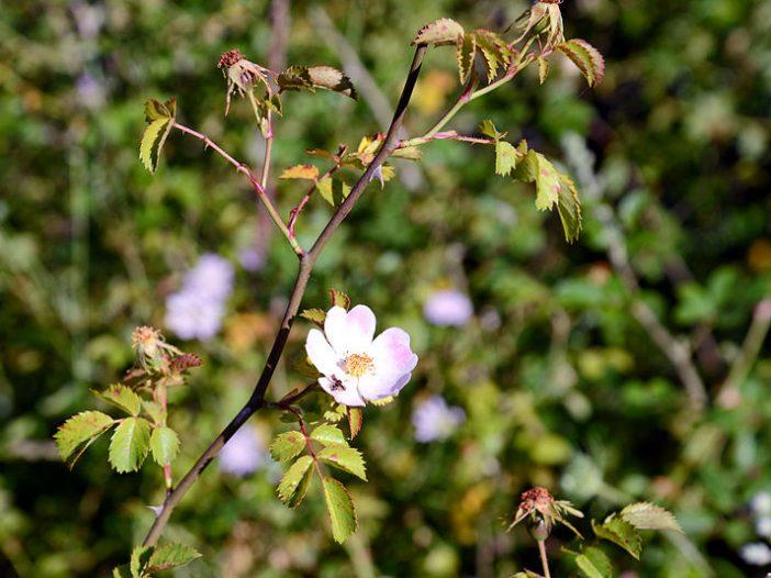 Floración Rosa pouzinii Tratt.