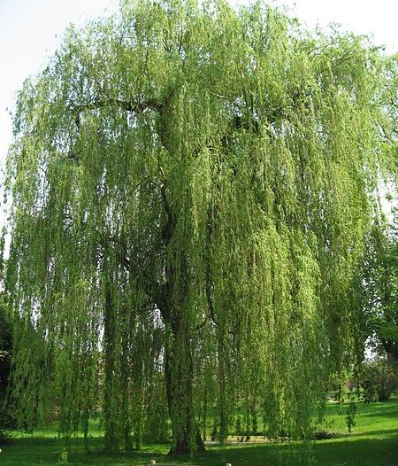 Porte Salix alba L.