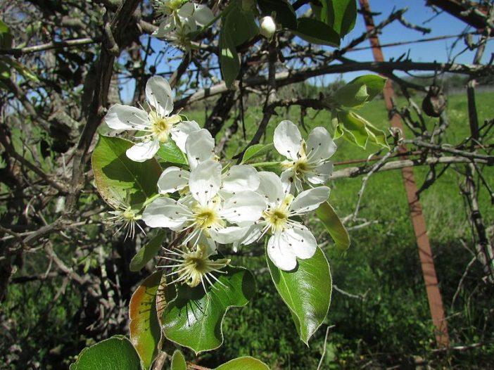 Floración Pyrus bourgaeana Decne.