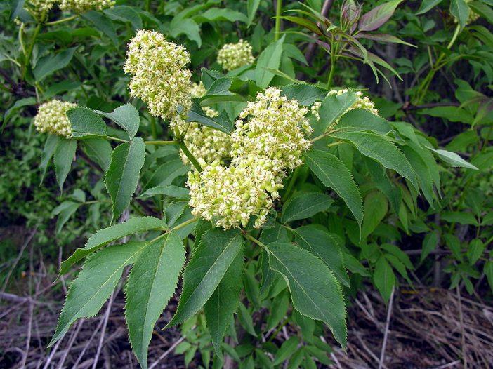 Floración Sambucus racemosa L.