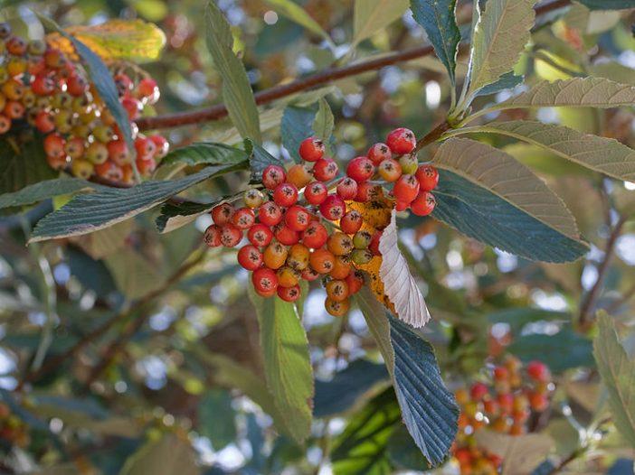 Fructificación Sorbus aria (L.) Crantz.