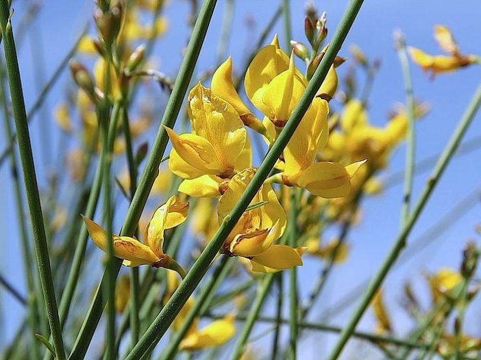 Floración Spartium junceum L.