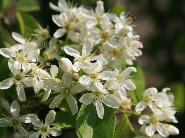 Floración Prunus mahaleb L.